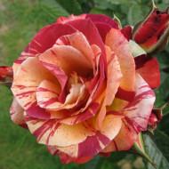 Trandafir Maurice Ultrillo (1 butas), trandafir bicolor rosu cu galben, butasi de trandafiri