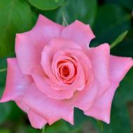 Trandafir Teahibrid Passion (1 butas in ghiveci 2 l), cu flori mari, de culoare roz-mov intens, butasi de trandafiri