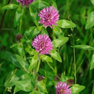 Trifoi rosu Rozeta (25 kg), seminte de trifoi extrem de productiv, bogat in proteine si minerale, Prima Sementi
