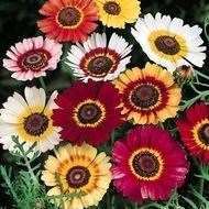 Tufanica - Crizantema Flori - Seminte de Floarea Tufanica Planta Anuala Rezistenta de la Florian