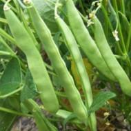 Verdana (100 grame) seminte de fasole urcatoare verde timpurie, carnoasa si frageda, Agrosem