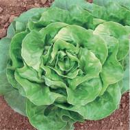 Verde D'Inverno (2500 seminte) de Salata Iarna Verde D'Inverno, Prima Sementi