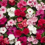 Vinca Mix (0,1 g) - Seminte de plante anuale cu flori colorate, Agrosem
