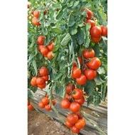 Leslie F1 - 500 sem - Seminte de rosii cu crestere nedeterminata destinat ciclurilor scurte de cultura in spatii protejate cu fructe mari gustoase aproape rotunde deosebit de ferme colorate in rosu aprins la maturitate extrem de atractive de la Sakata