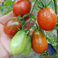 Black Roma (25 seminte) rosii negre prunisoare, nedeterminate, Ukraina