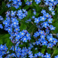 Flori de Nu ma uita (0.25 grame) seminte de flori mici albastre, Agrosem
