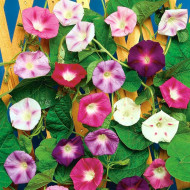 Zorele urcatoare mix (1 gram) seminte de flori planta anuala urcatoare, Agrosem