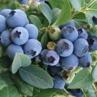Afin Bluecrop, butasi de afine soi cu fructe mari, foarte aromate, de culoare albastru deschis, Yurta