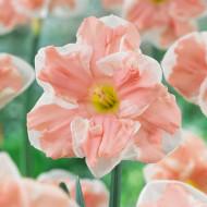 Apricot Whirl (3 bulbi), narcise cu flori mari, alb cu portocaliu, bulbi de flori