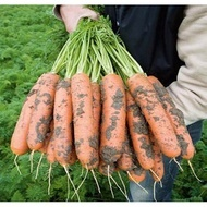 Baltimore F1 - 25.000 sem - Seminte de morcovi orange tip Berlicum/Nantes ( calibru seminte > 2.0 mm) ce se comporta excelent in conditii dificile de dezvoltare fiind destinat consumului in stare proaspata si industrializare de la BEJO