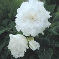 Begonie Fimbriata White (3 bulbi), floare mare creata, culoare alb, bulbi de flori