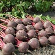 Boro F1 - 50.000 sem - Seminte de sfecla rosie cu un sistem foliar viguros recomandat pentru conditiile climatice din tara noastra de la Bejo