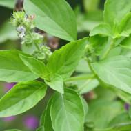 Busuioc lemon (300 seminte), planta medicinala busuioc, aroma lamaie, Agrosem