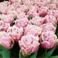 Cairns (5 bulbi), lalele bogate si franjurate, bulbi de flori