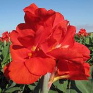 Canna Red President (1 bulb), floare exotica mare, culoare rosu, bulbi de flori
