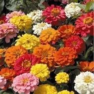 Carciumareasa ELEGANS 2  - Seminte Flori Carciumareasa de la Florian