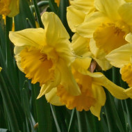 Carlton (5 bulbi), narcise galbene, bulbi de flori