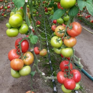 Clarosa F1 (1000 seminte) tomate nedeterminate, roz stralucitor, forma rotunda, Clause