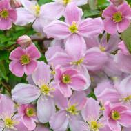 Clematite Mayleen (ghiveci 2 L), tufa ornamentala cataratoare Clematis, flori parfumate, roz fin