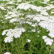 Coada soricelului (0.1 grame) seminte de flori, decorative, mixtura, Agrosem