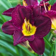 Crin Hemerocallis Bela Lugosi (ghiveci 1,5 L), crin de o zi cu flori purpurii cu galben-lemon