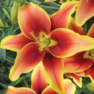 Crini Avalon Sunset (1 bulb), combinatie de culori rosu cu galben, bulbi de flori