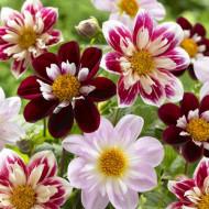 Dalie Collarette Dandy mix (0,4 g), seminte de dalie cu flori in diferite combinatii de culori aprinse, extrem de atractive, Agrosem