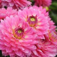 Dalie Gallery Bellini (1 bulb), floare culoare roz, bulbi de flori