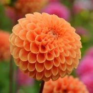 Dalie Sylvia (1 bulb), floare cu petale curbate, de culoare portocaliu cald, bulbi de Dalii