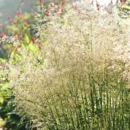 Deschampsia Goldschleier (ghiveci 1,5 l), iarba ornamentala Tarsa Mare, aspect de fantana arteziana