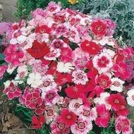 Dianthus China Doll Mix - Seminte Flori Garofita Chinezeasca Chinesis de la Florian