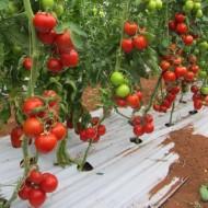 Emir F1 - 500 sem - Seminte de rosii ideale pentru cultura in spatii protejate si camp ce pot fi recoltate in ciorchine avand durata lunga de pastare de la United Genetics