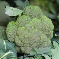 Fiesta F1 - 1000 sem - Seminte de broccoli cu o maturitate dupa transplantare de 80 de zile ce suporta bine conditiile climatice dificile de la Bejo