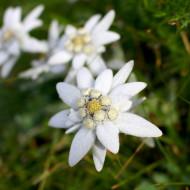 Floare de colt (0,05 g), seminte de flori delicate de colt, Agrosem