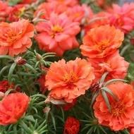 Floarea de Piatra - Seminte Floare de Piatra Culoare Portocalie-Rosu Portulaca Grandiflora de la Florian