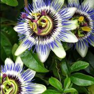 Floarea pasiunii (0.33 g), planta agatatoare superba cu flori stelate, parfumate, Horti Tops