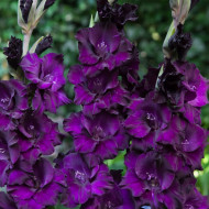 Gladiole Black Velvet (7 bulbi), gladiole cu flori mari de culoare albastru-purpuriu profund, bulbi de flori