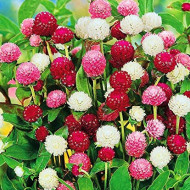Gomfrena mix (0,2 g), seminte de flori colorate, globulare, Agrosem