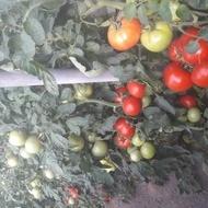 Gramada F1 (0.2 gr) seminte tomate hibrid nou bulgaresc nedeterminat semitimpuriu