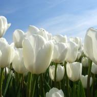 Hakuun (8 bulbi), lalele albe pure, bulbi de flori