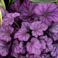 Heuchera Wild Rose (ghiveci 1 L), planta rezistenta, usor de cultivat