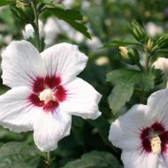Hibiscus Mathilde, butasi de Hibiscus syriacus, arbusti cu flori mari, intr-o combinatie superba de alb cu roz si centrul visiniu, Yurta