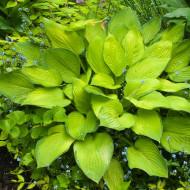 Hosta Gold Standard (ghiveci 1,5 L), planta decorativa cu frunze mari, culoare schimbatoare