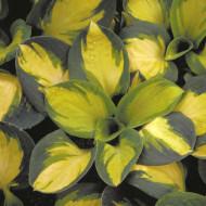 Hosta Popcorn (ghiveci 1,5 L), planta decorativa cu frunze culoare schimbatoare