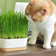 Iarba pentru pisici, seminte amestec de iarba cu vitamine si saruri minerale pentru pisici, Kertimag