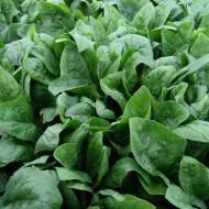 Imperator F1 - 50.000 sem - Seminte de spanac de culoare verde inchis cu frunze netede si forma ascutita ce poate fi cultivat cu trecere peste iarna rezistent la mana si fainare de la Cora Seeds