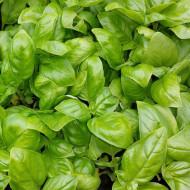 Italiano Classico (100 grame), busuioc verde, Isi Sementi
