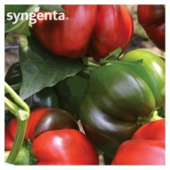 Kabala F1 - 500 sem - Seminte de ardei gogosar fructe mari productie ridicata pentru camp si solar de la Syngenta