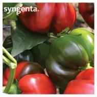 Kabala F1 (500 seminte) ardei gogosar productie ridicata, fructe mari, Syngenta
