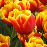 Kees Nelis (5 bulbi), lalele rosu-portocalii presarati cu margini galbene, bulbi de flori